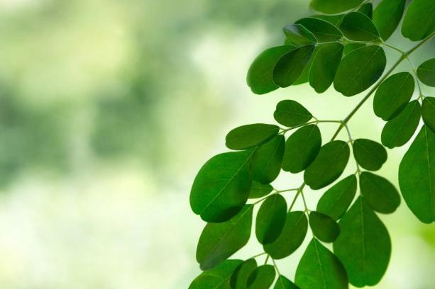 khasiat daun kelor untuk kesehatan